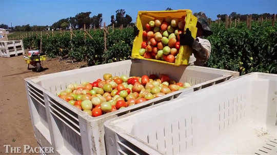 Tomato market off to strong start