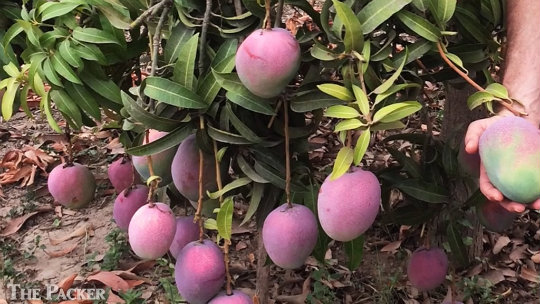 Markets strong for Peruvian mangoes