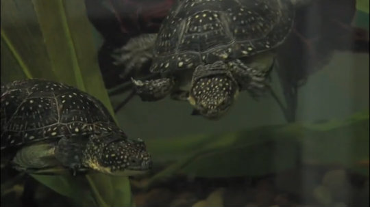 U & The Zoo: Blanding's Turtle